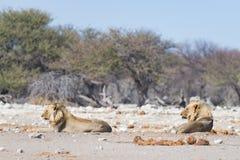 Dwa młodych męskich gnuśnych lwów łgarskiego puszka na ziemi Zebry defocused chodzący niezakłócony w tle Przyroda safari w th Obrazy Royalty Free