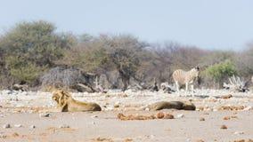 Dwa młodych męskich gnuśnych lwów łgarskiego puszka na ziemi Zebry defocused chodzący niezakłócony w tle Przyroda safari w th Obraz Stock