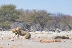 Dwa młodych męskich gnuśnych lwów łgarskiego puszka na ziemi Zebry defocused chodzący niezakłócony w tle Przyroda safari w th Fotografia Stock