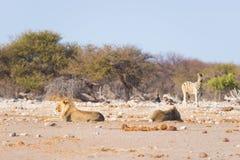 Dwa młodych męskich gnuśnych lwów łgarskiego puszka na ziemi Zebry defocused chodzący niezakłócony w tle Przyroda safari w th Obrazy Stock
