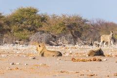 Dwa młodych męskich gnuśnych lwów łgarskiego puszka na ziemi Zebry defocused chodzący niezakłócony w tle Przyroda safari w th Zdjęcia Royalty Free