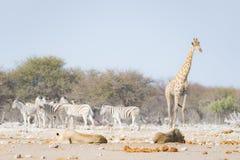 Dwa młodych męskich gnuśnych lwów łgarskiego puszka na ziemi Zebry i żyrafy defocused chodzący niezakłócony w tle przyroda Zdjęcia Royalty Free