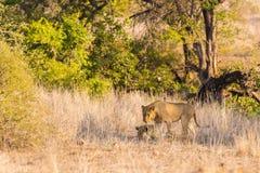 Dwa młodych męskich lwów łgarskiego puszka na ziemi w krzaku Przyroda safari w Kruger parku narodowym, główna atrakcja turystyczn Zdjęcia Royalty Free