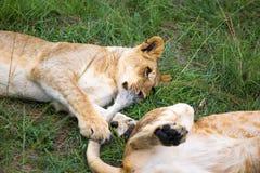 Dwa m?odego lwa cuddle i bawi? si? z each inny obraz stock