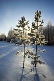 Dwa młodej sosny w zima parku Obraz Stock