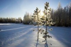 Dwa młodej sosny w zima parku Obrazy Royalty Free