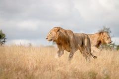 Dwa męskiego lwa chodzi w trawie Zdjęcie Stock