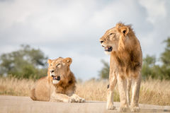 Dwa męskiego lwa odpoczywa na drodze Obrazy Stock