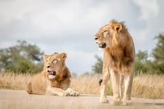 Dwa męskiego lwa odpoczywa na drodze Fotografia Stock
