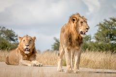 Dwa męskiego lwa odpoczywa na drodze Obraz Royalty Free