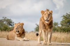 Dwa męskiego lwa odpoczywa na drodze Fotografia Royalty Free