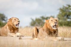 Dwa męskiego lwa odpoczywa na drodze Obraz Stock