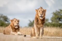 Dwa męskiego lwa siedzi na drodze Zdjęcie Stock
