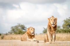 Dwa męskiego lwa siedzi na drodze Obrazy Royalty Free