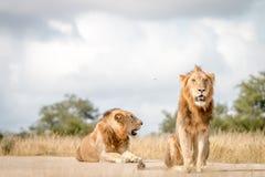 Dwa męskiego lwa siedzi na drodze Fotografia Royalty Free