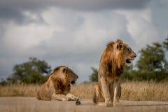 Dwa męskiego lwa siedzi na drodze Zdjęcia Stock