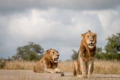Dwa męskiego lwa siedzi na drodze Obraz Royalty Free