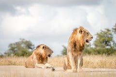 Dwa męskiego lwa siedzi na drodze Zdjęcie Royalty Free