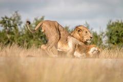 Dwa męskiego lwa spaja na drodze Zdjęcia Royalty Free