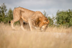 Dwa męskiego lwa spaja na drodze Obraz Stock