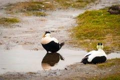 Dwa męskiego pospolitego edredonu ptaka stawem Zdjęcia Stock