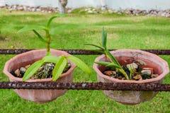 Dwa mała narastająca orchidea kwitnie w garnkach przy ogródem Obraz Stock