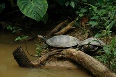dwa małe żółwi. Obraz Royalty Free