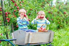 Dwa małe dziecko chłopiec podnosi czerwonych jabłka na rolnej jesieni fotografia royalty free
