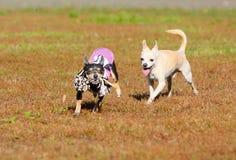 Dwa małego aktywnego psa biegają wokoło z ich faworyt zabawką Śliczna szczeniak sztuka outdoors, skok i obraz stock