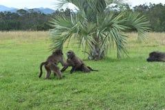 Dwa małego brown pawianu bawić się na łące w Południowa Afryka Zdjęcia Stock