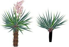 Dwa małego drzewka palmowego odizolowywającego na bielu Obrazy Royalty Free