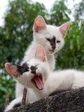 Dwa małego kota odpoczywa nad ścianą Obrazy Royalty Free