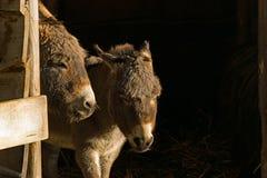 Dwa małego osła cieszą się pierwszy słońce tego roku od ich stajenki Zdjęcie Stock