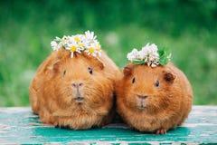 Dwa małego przepoconego królika doświadczalnego obraz stock