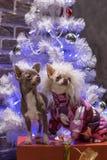 Dwa małego psa spotykają nowego roku wakacje fotografia royalty free