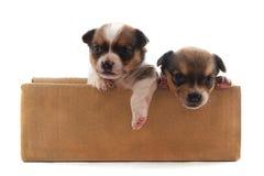 Dwa małego psa w pudełku obraz royalty free