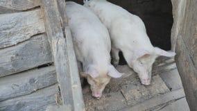Dwa małej świni przy drzwi wioski stajnia żuć coś Belarusian wioska zdjęcie wideo