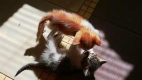 Dwa małej figlarki bawić się z each inny mocuje się małych koty zbiory wideo
