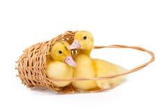 Dwa małej kaczki zdjęcie stock