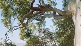 Dwa małej małpy bawić się i skacze na gałąź wielki drzewo na skale Gibraltar na tle Gibraltar zatoka zdjęcie wideo