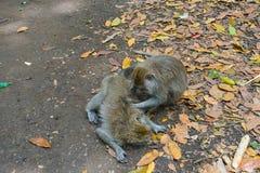 Dwa małpują pomoce dostawać pozbywającym się pchły inny, Bali obrazy stock