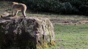 Dwa małpy na skale - Barbary Algieria & Maroko makaki zbiory