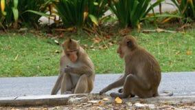 Dwa małpy siedzi na zmielonym łasowania jedzeniu przy Khao Kheow Otwartym zoo Tajlandia zbiory wideo