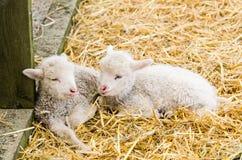 Dwa Mały jagnięcy dosypianie w słomie Zdjęcia Stock