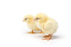 Dwa Mały kurczak odizolowywający na białym tle zdjęcie royalty free