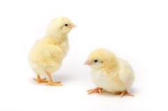 Dwa Mały kurczak odizolowywający na białym tle fotografia stock