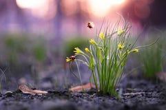 Dwa małych biedronki zdejmującej od trawy krzaka Obraz Royalty Free