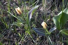 Dwa małych tulipanów żółty czerwony kolor patrzeje w słońce Obraz Stock