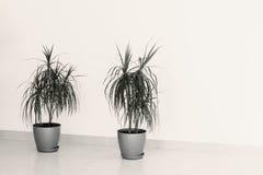 Dwa małego drzewka palmowego Obrazy Royalty Free