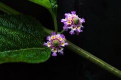 Dwa małego herbata kwiatu Obraz Stock